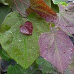 Cerciscanadensisforestpansy3   Xenana Spa   Portland Oregon